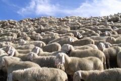 pecore copia