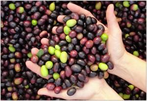 L'olio extravergine di oliva