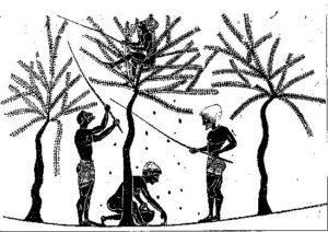 Raccolta delle olive. Riproduzione grafica di un'immagine di un vaso attico a figure nere.