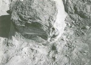 Castel di Guido- Ottava Campagna di scavo- Particolare di un clasto di tufo giacente sulla Tufite.